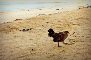 There are a ton of wild chickens on this island.